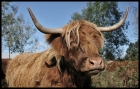 ~Highland Cattle~